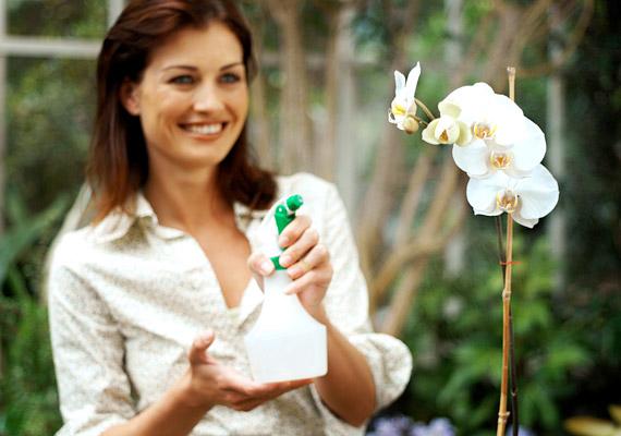 A szobanövények többségét egyszerűen felülről vagy alulról kell locsolni. Mivel azonban az orchidea a trópusokról származik, magas páratartalomhoz szokott. Vízigényét ezért legjobban szórófejes öntözővel tudod kielégíteni. Spriccelj vizet a földre, illetve párásíts a virágok és levelek magasságában is. Ezzel a módszerrel télen hetente egyszer, nyáron két-háromnaponta öntözd az orchideáidat. Az öntözővízbe keverhetsz tápanyagot, illetve havonta-kéthavonta merítsd vödörbe őket pár percre, majd hagyd lecsöpögni. Vigyázz a túlöntözésre, és fontos, hogy leginkább reggel öntözz!