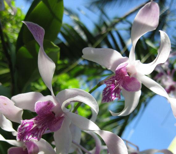 Az orchideák imádják a fényt és a nedvességet, természetes élőhelyükön, például Indonéziában nagyon magas a páratartalom.