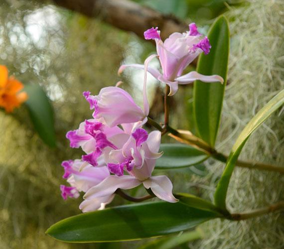 A Coelogyne fajtákat hullámos virágaik teszik vonzóvá.