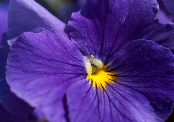 Az árvácska - Viola - bájos virágai egy évben kétszer is nyílnak: márciustól júliusig, majd októbertől novemberig.