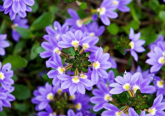 A legyezővirág - Scaevola aemula - szirmaiban késő őszig gyönyörködhetsz.