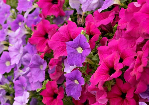 A petúnia - Petunia - nem véletlenül az egyik legkedveltebb balkonnövény: késő őszig gyönyörködhetsz virágaiban.