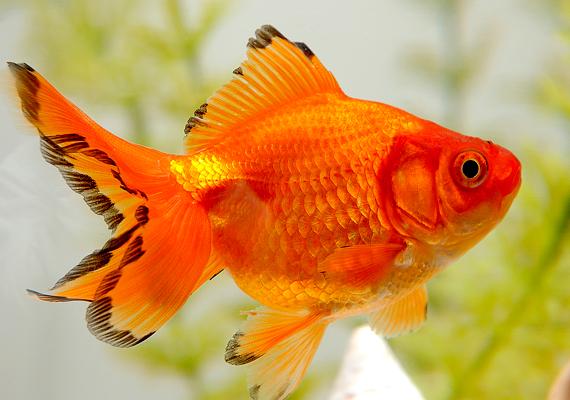 Egy olyan akváriummal is megerősítheted a pénz területét, amelyben aranyhalak élnek. Ezt azonban csak akkor válaszd, ha valóban szeretnél és tudsz is gondoskodni a kis élőlényekről.
