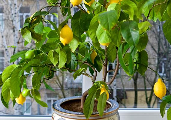 A cserepes gyümölcsfák is a termékenységet, bőséget szimbolizálják.
