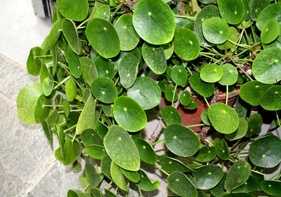 Hatékonyak lehetnek azok a növények, melyeknek sok apró, kerek levele van. Ilyen például a pénzlevelű pilea.