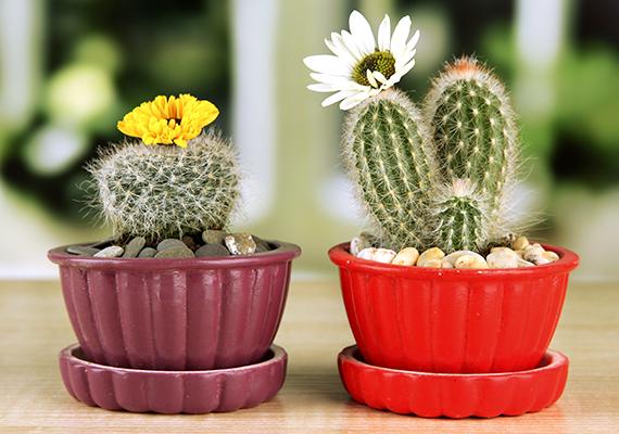 Ha nem szeretnéd, hogy az újonnan vásárolt kaktuszaidon barna égési foltok jelenjenek meg, miután az ablakba állítod őket, érdemes egy hétig selyempapírral árnyékolnod őket.