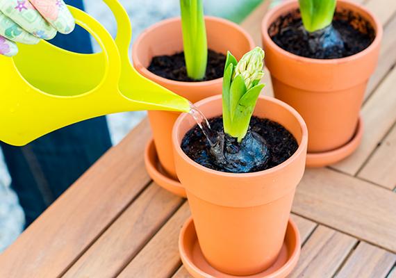 Nem mindegy az sem, milyen vízzel locsolod a növényeket. A legalkalmasabb az összegyűjtött esővíz, a lehűtött, forró bojlervíz, valamint a hólé, de a csapvíz is megfelelő lehet, ha nem frissen használod fel, hanem felforralod, majd lehűtőd szobahőmérsékletűre.
