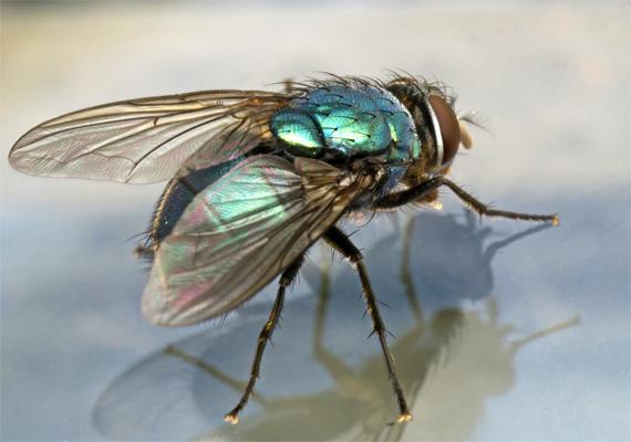 Nem titok, hogy a házi légy előtt semmilyen étel nincs biztonságban. A rovar nyálában lévő kórokozók gyomor- és bélbetegségeket okozhatnak, de a gyomorfekélyért felelős Helicobacter Pylori nevű baktérium is a szervezetbe juthat ekképpen.