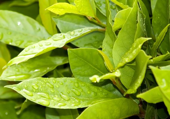 A különféle fűszernövények hatékony rovarűzőnek számítanak, cserépben tartva emellett lakásodnak is különleges hangulatot adnak. Akár a babért - Laurus nobilit - is nevelheted kis cserépben, érdemes, hiszen a benne található cineol révén a csótányok ellen is jól alkalmazható. Talaja legyen mindig nedves, és tedd félárnyékos helyre.