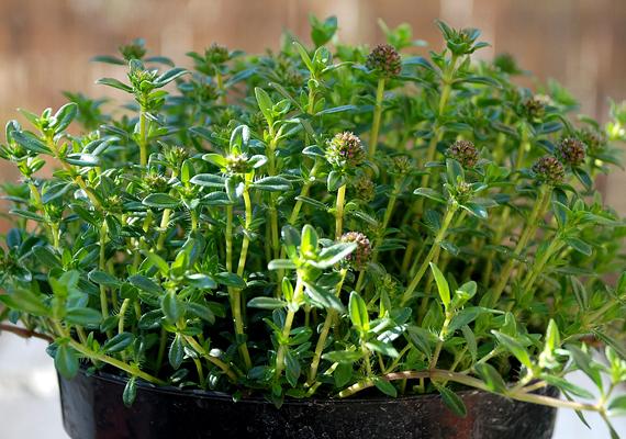 A borsfű vagy borsikafű - Satureja hortensis L. - a legyek ellen jelent hatékony fegyvert. Fényigényes növény, azonban a szárazságot jól tűri.