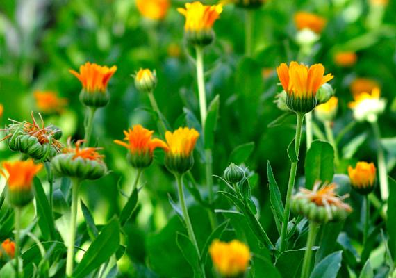 A körömvirág - Calendula officinalis - is remek általános rovarűző növény, ráadásul a lakásban is tarthatod. Kedveli a sok napfényt, a bimbók megjelenése után pedig a rendszeres öntözést. Az elszáradt részeket, virágokat mindig csipegesd le róla.
