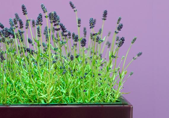 A levendula - Lavandula angustifolia - igazi ékessége lehet a lakásnak, ráadásul kellemes illatát is élvezheted - nem úgy, mint a hangyák, köztük a fáraóhangyák, akiket messzire űz. A levendula igen levegő-, illetve fényigényes, emellett körülbelül háromnaponta öntözd meg alaposan.