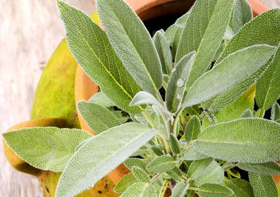 Hatékony növény a zsálya - Salvia officinalis - is, illata elsősorban a hangyákat tartja távol. A napos, meleg helyeket és a mérsékelt öntözést kedveli.