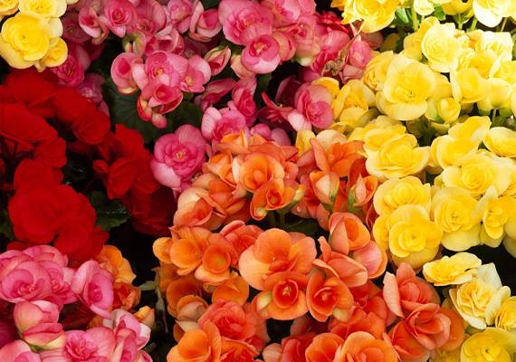 A begónia - Begonia - a lelki nyugalom megtalálásában segít, ráadásul a színes kis virágok energiával töltenek fel. Mindkettő nagyon fontos, ha párra szeretnél lelni.