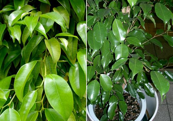 A csüngőágú fikusz - Ficus Benjamina - stabilitást és kiegyensúlyozottságot hoz, ami a párkeresés időszakában nagy segítség lehet.