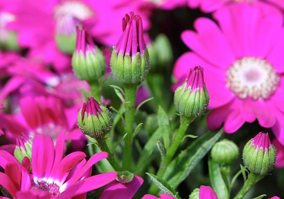 A hamvaska - Senecio Cineraria - sok-sok apró levele ugyanennyi lehetőséget és járható utat nyit meg előtted.