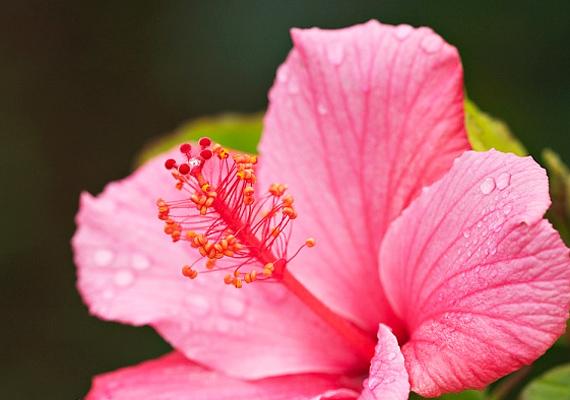 A hibiszkusz - Hibiskus - az életerő növénye, így, ha elvesztetted a hited a szerelemben, különösen jótékony lehet, segít visszaadni a reményt.