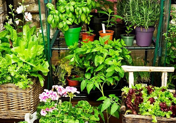 Bizonyos növények, fűszernövények is képesek távol tartani a szúnyogokat, legyenek akár a lakásban, akár az erkélyen. Ezek közé tartozik a rozmaring, de például a macskamenta is.