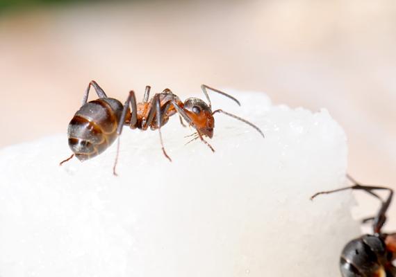 Ugyanez igaz a hangyákra is, elkerülik majd azokat a helyeket, ahol érződik a zacc illata.