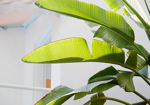 Ha a zöld leveles szobanövényeket, például a páfrányt néha teával öntözöd víz helyett, színük ragyogni fog.