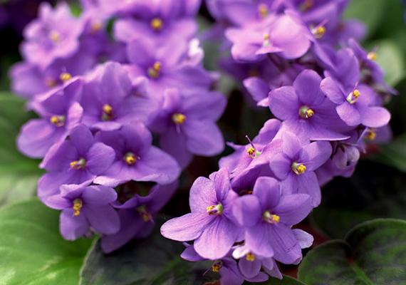 A fokföldi ibolya - Saintpaulia - az egyik legnépszerűbb növény télen is. Fényigényes, ezért ne tartsd sötét helyen, továbbá ügyelj rá, hogy csak alulról öntözd.