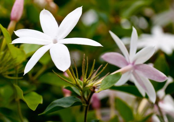 A jázmin - Jasminum polyanthum - a világos, napos helyeket kedveli, emellett a közepesen meleg hőmérsékletet. Továbbá figyelj, hogy mindig legyen vizes a földje.