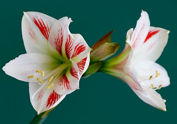 Az Amarillisz - Hippeastrum - liliomszerű, hatalmas virágaival gyönyörű dísze lehet a lakásnak. Ügyelj rá, hogy ne tartsd túl meleg helyen, és csak mérsékelten öntözd.