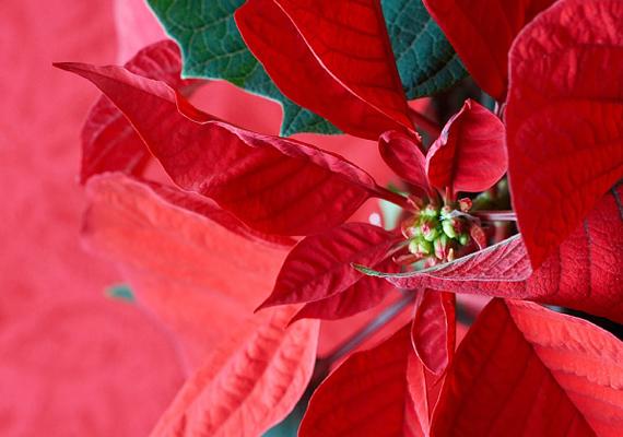 A Mexikóból származó mikulásvirágnak - Euphorbia pulcherrima -, ha virágzik, nagyon sok fényre van szüksége, ezért lehetőleg tartsd az ablak közelében, ugyanakkor csak közepes hőmérsékleten. Célszerű párologtató készüléket helyezni mellé, esetleg nedves kavicságyra tenni.