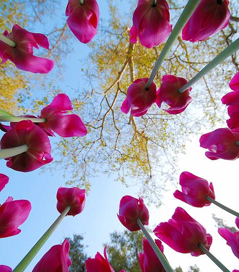 A közhiedelemmel ellentétben a tulipán őshazája nem Hollandia, és nem is ősi magyar virág. Egyesek szerint Perzsiából származik, de az biztos, hogy bölcsője Közép- vagy Belső-Ázsia, és Ázsia mérsékelt égövi területén őshonos.