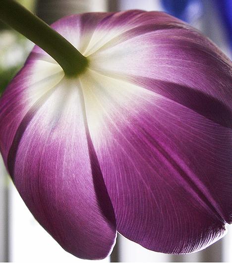 A tulipán ma Hollandia nemzeti virága, Törökországból a 16. század végén a bécsi udvar közvetítésével került egy híres holland botanikus, Carolus Clusius kertjébe. Állítólag azon kertészek által terjedtek el a tulipánok az országban, akik éjszaka kilopták a hagymákat a földből.