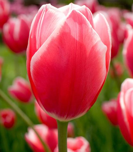 A tulipán a liliomfélék családjához tartozik, mintegy száz eredeti, és több ezer nemesített fajtával.  A Kárpát-medencében négy faj él vadon, közülük legismertebb a 40–50 cm magas, áprilisban nyíló magyar tulipán.
