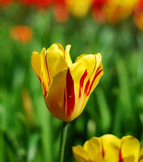 A sárga szín a féltékenység és az irigység színe. Ha azonban sárga tulipánt kapsz ajándékba, ne rögtön erre gondolj! A sárga ugyanis tiszteletteljes szerelmet is kifejezhet, és azt is, hogy az ajándékozó életében te vagy a napfény.