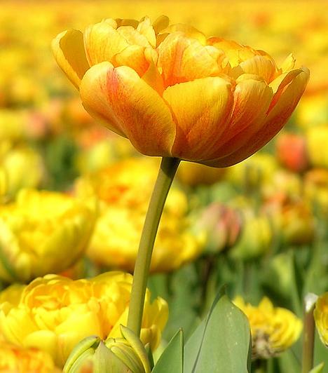 A legkorábbi ismert tulipán-ábrázolást egy, az időszámításunk előtti 7. századból való dél-kaukázusi szkíta leleten találták. Az aranyból készült pecsétnyomón öt vastagodó hasban végződő tulipán látható. Írásos emlékek elsőként időszámításunk után 1000 körül említik.