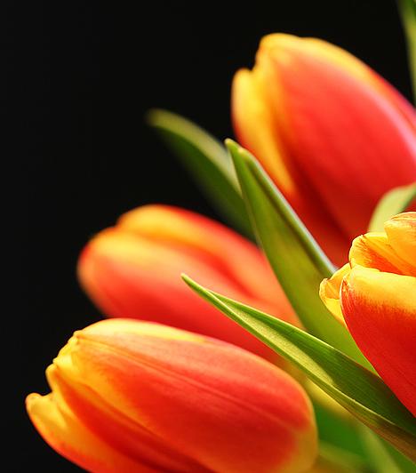 Hollandia és a tulipánok kapcsolata a 17. században fonódott össze, amikor kitört a tulipánmánia.  Az értékesebb virághagymákkal úgy spekuláltak a hollandusok, mint manapság a részvényekkel szokás.  Egyetlen ritka alakú és különleges színű virág hagymájáért - mai pénzben számítva - akár 600 ezer forintot is kiadtak.