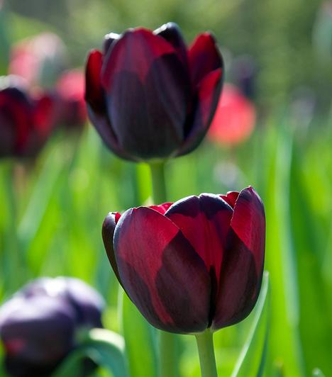 Évszázadok óta kísérleteznek a fekete tulipán létrehozásával, amely Alexander Dumas romantikus kalandregénye által lett világhírű. Eddig még nem sikerült előállítani ezt a különleges fajtát, de egészen sötétlila egyedeket már igen.