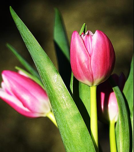 Ha otthonodban szeretnél tulipánt tartani, akkor a hagymákat érdemes szeptember -október környékén elültetned. Márciustól májusig várható a virágzása, arra viszont ügyelj, hogy ne öntözd túl, mert nem kedveli a pangó vizet. A sok fényt viszont meghálálja.Kapcsolódó cikk:A tavasz 3 gyönyörű hírnöke a nappalidban »