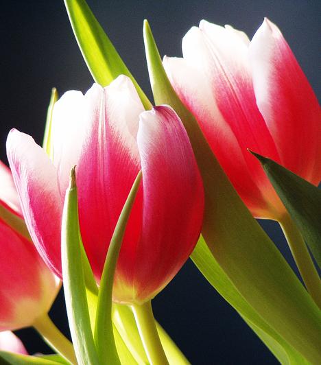 A tulipán elnevezése valószínűleg a perzsa dulbend, azaz turbán szóból ered, és alakja miatt kaphatta ezt a nevet. A tulipán török neve egyébként lale, az Allah szó anagrammája, ami utal arra a hódolatra, amellyel ezt a virágot illették.