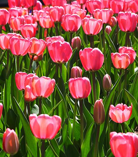 Nem tudni, mikor termett kertben először tulipán Magyarországon. Egyes kutatók szerint már az 1500-as évek végén megtalálható volt a tulipán Batthyány Boldizsár birtokán, mások szerint csak a 17. században, Lippay György pozsonyi barokk kertjében csodálhatták meg első alkalommal.