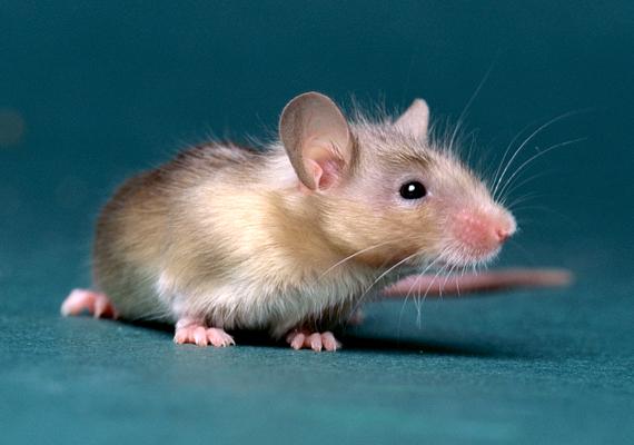 Az egér nemcsak régi házakban fordulhat elő, de bármely helyen, mely zöldterülethez esik közel. Az egér a patkányhoz hasonlóan komoly betegségeket terjeszthet. Kattints ide, és tudj meg róla többet!