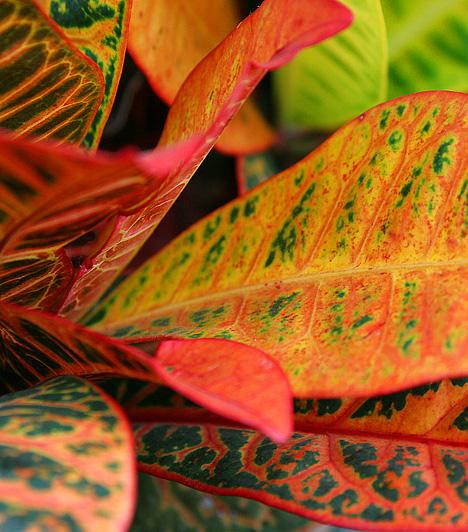 KrotonA változatos színekben pompázó növény levele és szára mérgező nedvet tartalmaz, amely a tápcsatornába jutva veszélyes az emberi szervezetre - ez jelentkezhet hányás vagy hasmenés formájában. A bőrrel találkozva pedig viszketést, vörös foltokat okoz, ezért bánj vele nagyon óvatosan.