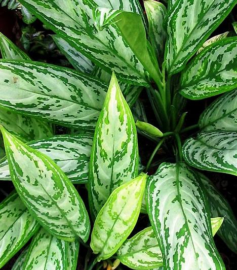 Rákvirág  Az Aglaonema crispumnak minden része mérgező. Néha elég, ha csak egy kevés nedv jut a levelekről a bőrödre: súlyos bőr- és nyálkahártya-irritáló anyagokat tartalmaz, melyek allergiás reakciókat váltanak ki, súlyosabb esetben pedig hányást, hasmenést és hasi fájdalmakat okozhatnak.