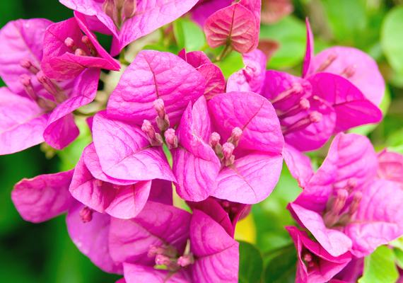 A murvafürt - Bougainvillea - csodaszép virágokat ont, melyek a teljes nyári időszakban díszei lehetnek az erkélynek. A növény igencsak kedveli a meleg fekvést, ugyanakkor óvd az esőtől és a széltől. A növekedési időszakban öntözd bőségesen, ne pangjon a talajában a víz. Hajtásait támasztékokhoz is kötheted.
