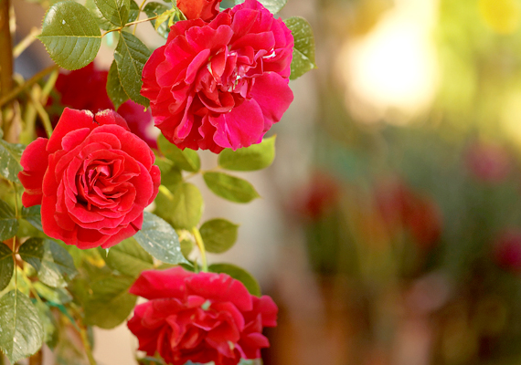 A rózsának - Rosa - számos futó változata is létezik, melyek metszést és támrendszert igényelnek, cserébe azonban romantikus hangulatot kölcsönöznek a balkonnak. A futórózsa kora nyártól késő őszig virágzik, nagyon fényigényes, és a gyakori öntözést is szereti, viszont ne pangjon cserepében a víz.