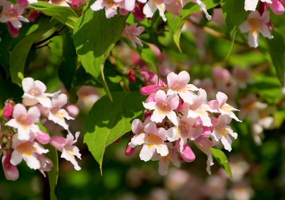 A jázmin - Jasminum - tavasszal és nyáron is virágzik, intenzív illatáról pedig már messziről felismerhető. Világos, napos helyre tedd, viszont az égető, forró nyári naptól óvd. Földjét mindig tartsd nedvesen.
