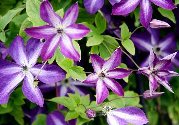 A kerti klematisz - Clematis x jackmannii - egész nyárra virágözönt biztosít, ha nedvesen tartod a talaját, ugyanakkor véded az egész napos, erős napsütéstől, és azt sem hagyod, hogy a tövét süsse meg a nap.