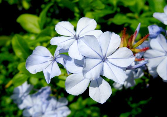 Az ólomgyökér vagy ólomvirág - Plumbago auriculata - jellegzetes égszínkék virágokkal lehet erkélyed dísze nyáron. A világos, napos helyet kedveli, május és augusztus között pedig célszerű gyakran öntözni.