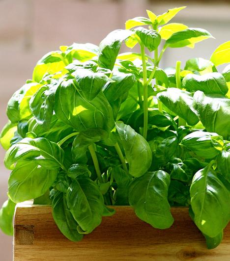 Bazsalikom A bazsalikom -Ocimum basilicum - univerzális fűszernövény, alkalmas levesek, saláták, sültek, de savanyúságok ízesítésére is. Ha merész vagy, akkor desszertekhez is alkalmazhatod. Ízesítő hatása mellett használják afrodiziákumként, de gyomorrontás kezelésére is alkalmas. Használhatod szárítva, de frissen is.Kapcsolódó recept:Csirkés-bazsalikomos tagliatelle »