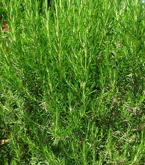 RozmaringA Dél-Európából származó fűszernövény nálunk is kedvelt. A Rosmarinus officinalis leveleit elsősorban szárítva használják. Nagyon jó zsíros húsok és vadételek ízesítésére, de természetesen olaszos ételekhez is remekül illik.  Kapcsolódó cikk: 3 dúsan zöldellő, igénytelen fűszernövény »