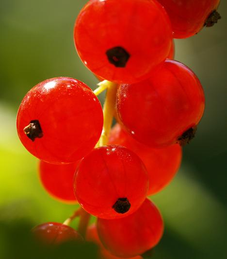 Ribizli A kis piros bogyó tökéletesen alkalmas lekvárok, zselék készítésére, de cukorral felfőzve egy gombóc vaníliafagylalttal is csodálatos.  Kapcsolódó cikk: 3 hatékony salaktalanító, karcsúsító étel »