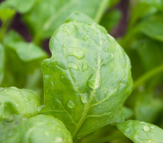 A spenót nem tartozik a legnépszerűbb zöldségek közé, pedig felnőttként jó, ha megbarátkozol vele. Nemcsak magas vastartalma miatt, hanem azért is, mert a benne található klorofill serkenti a sejtek oxigénfelvételét. Nem annyira köztudott, de a zöld színű növényekben is van béta-karotin, amit a ránctalanító A-vitamin előanyaga.